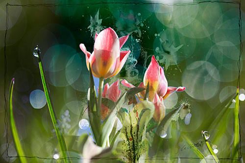 Tulpen-Gras-Tropfen--zarter-Rand-web